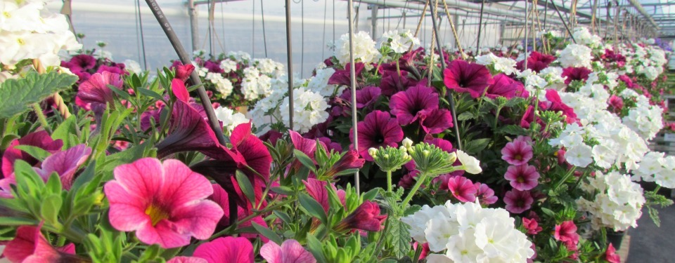 Great Selection Of Hanging Baskets